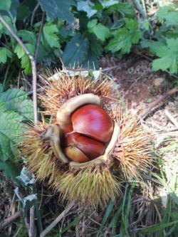 Gongju Chestnut